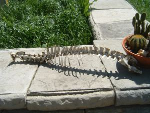 Gator Bones Found in Cossatot Park, Mile 553