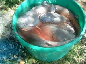 kaw lake fish