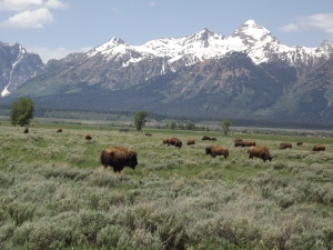 Teton Bison:  A Nice Herd