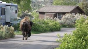 buff in mammoth camp