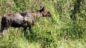 moose 4