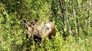moose ace