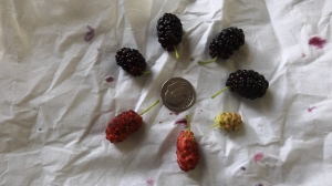 Mulberries and a Dime
