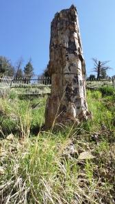 petrifid tree