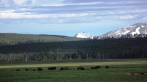 y buFF herd