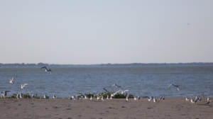 Maumee Beach, with Geese