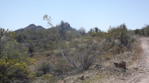 Blooming Mesquite!
