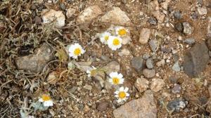 Desert Daisies