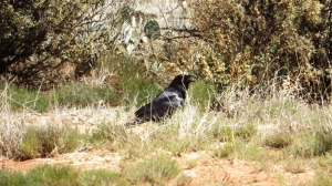 Our Campground Raven:  Nevermore!