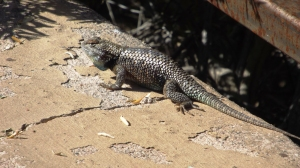 The Biggest Lizard We've Seen Was at Tuzigoot, Doing Pushups