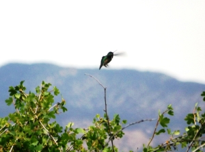 Ivie Creek Hummingbird