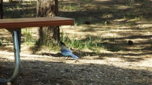 Steller's Jay Making His Morning Rounds at Bryce