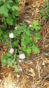Wild Durango Roses