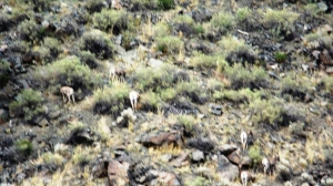 The White Dots Are Bighorn Hinders