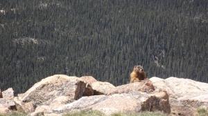 A Disgruntled Marmot