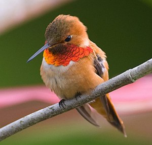A Young Rufous Male