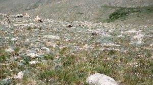 Alpine Tundra Closeup