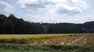 Harvested and Field Drying