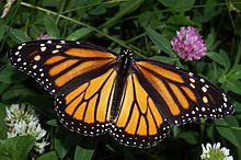 A Monarch Femme