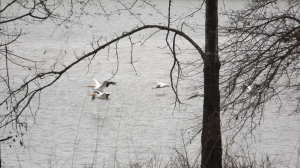 In Bound White Pelicans