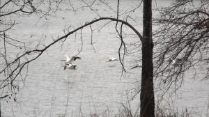 In Bound White Pelicans