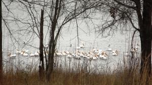 White Pelicans Assemble