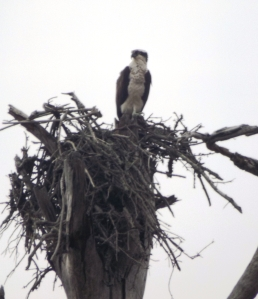 A Natural Osprey Nest (as Opposed to One on Ballpark Lights)