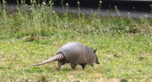 Shelley, the Camp Armadillo