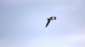 Flying Bonaparte Gull