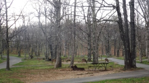 Deer in our Campground