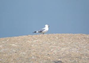 A Ringed-Bill Staking Out This Nesting Site