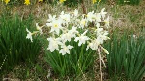 White CCC Daffodils