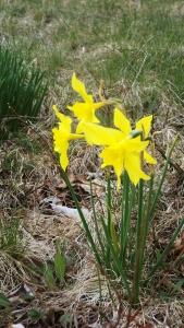 Yellow CCC Daffodil
