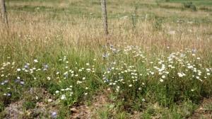 Chicory and Daisies