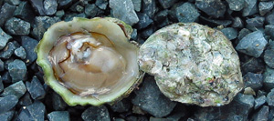 Little Olympia Oyster