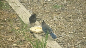 Foot and Jumpy, Our Steller's Jays